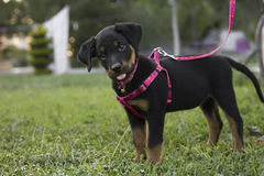 Sweet little cute pink leash Rottweiler Stock Photo