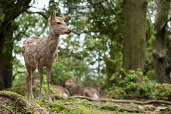 Sweet Little Deer Kid Fawn Looking to the Side with Sunshine in the forest with green background. Sweet Little Deer Kid Fawn Looking to the Side with Sunshine in royalty free stock images
