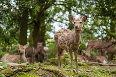Sweet Little Deer Kid Fawn Looking to the Side with Sunshine in the forest with green background. Sweet Little Deer Kid Fawn Looking to the Side with Sunshine in royalty free stock photography