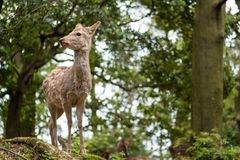 Sweet Little Deer Kid Fawn Looking to the Side with Sunshine in the forest with green background. Sweet Little Deer Kid Fawn Looking to the Side with Sunshine in stock images