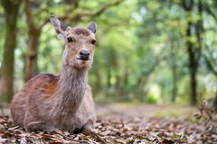 Sweet Little Deer Kid Fawn Looking to the Side with Sunshine in the forest with green background. Sweet Little Deer Kid Fawn Looking to the Side with Sunshine in royalty free stock photo