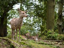Sweet Little Deer Kid Fawn Looking to the Side with Sunshine in the forest with green background royalty free stock image
