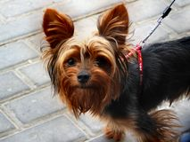 Sweet little doggy Royalty Free Stock Image