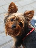 Sweet little doggy Royalty Free Stock Photography