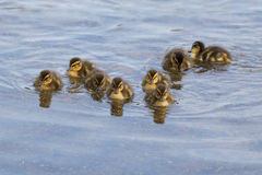 Sweet Little Ducklings. Mallard ducklings swimming on a pond Royalty Free Stock Photos
