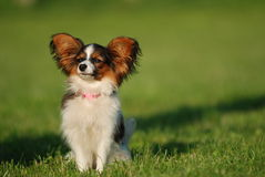 Sweet little girl. Papillon puppy on the grass field Royalty Free Stock Photography
