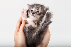 Sweet little gray  kitten in hands. Sweet little gray kitten in the hands on the white background Royalty Free Stock Photos