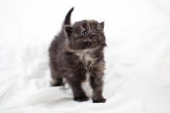Sweet little gray  kitten in the photo studio. Sweet little gray kitten in the photo studio on the white background Stock Photography