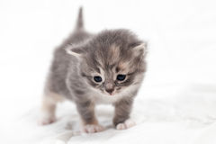 Sweet little gray  kitten in the photo studio. Sweet little gray kitten in the photo studio on the white background Royalty Free Stock Photography