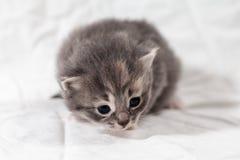 Sweet little gray  kitten in the photo studio. Sweet little gray kitten in the photo studio on the white background Royalty Free Stock Image
