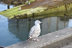 Sweet Little Juvenile Seagull. Juvenile seagull sitting on a concrete barrier wall in Mallaig, Scotland Royalty Free Stock Photography