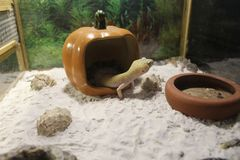 smal Leopard Gecko stock photos