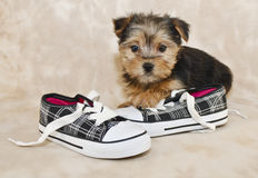 Sweet Little Morkie Puppy Stock Image