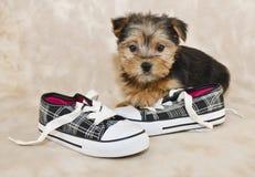 Sweet Little Morkie Puppy Stock Image