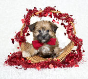 Sweet Little Morkie Puppy Royalty Free Stock Photo