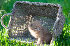 Sweet little orange kitten in the basket. On the backyard Stock Photo