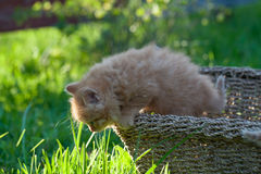 Sweet little  orange kitten in the basket on the backyard. In the sun light Stock Photos