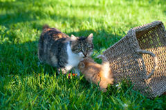 Sweet little  orange kitten with his mother  play on the backyard Royalty Free Stock Image