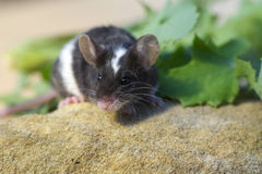 Sweet little pet mouse close up Stock Images