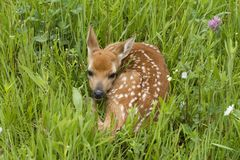 White tailed deer fawn curled up in a grassy meadow Royalty Free Stock Photo