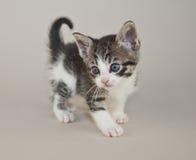 Sweet Little Tabby Kitten Stock Photography