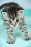 Sweet Little Tiger Kitten Royalty Free Stock Image