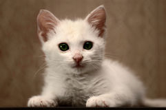 Sweet little white kitten 3 Stock Images