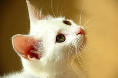 Sweet little white kitten royalty free stock images
