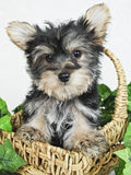 Sweet Little Yorkie Puppy Stock Photos