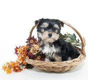 Sweet Littlre Yorkie Puppy Royalty Free Stock Photo