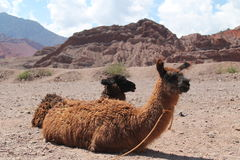 Sweet llama Sweet. Natural Reserve `Quebrada de las Conchas` - Salta Province - Argentina Stock Photos