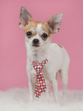 Sweet looking Chihuahua dog standing with tie Stock Photo