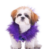 Sweet looking shih tzu puppy Stock Photo