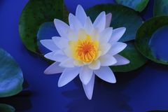 Sweet lotus blossom. Sweet water whith lilywater Stock Photo