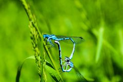 Two Blue Dragonfly stock images