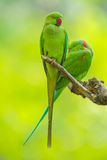 Sweet lover of Alexandrine parrot Stock Photos