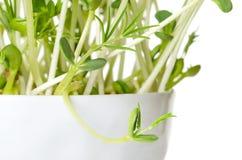 Sweet lupin bean seedlings, macro photo royalty free stock photography