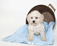 Sweet Malti-Poo Puppy. Malti-Poo Puppy in a tub with a blue blanket on a white background Royalty Free Stock Photos
