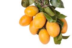 Sweet Marian Plum fruit, Mayongchid,Maprang, Marian Plum Stock Photo