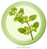 Sweet Marjoram Herb. Sweet Marjoram, fragrant garden herb used as seasoning with meats, fowl, stews, soups & omelets. Also used in classic French herb blend Royalty Free Stock Photography