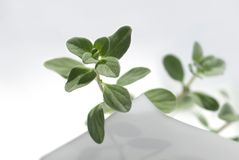 Sweet marjoram on sheet. Sweet marjoram on a white sheet royalty free stock photography