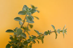Sweet marjoram on warm. Sweet marjoram on a yellow orang background royalty free stock photos