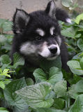 Sweet Markings on the Face of an Alusky Puppy Dog Royalty Free Stock Photography