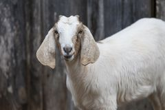 Closeup of beautifully colored goat with long, floppy ears. Sweet medium sized goat with long floppy ears and beautifully colored face Royalty Free Stock Images