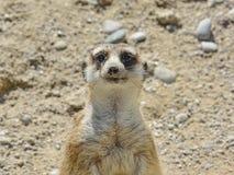 Sweet meerkat in nature. Background Stock Image