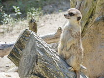 Sweet meerkat in nature Stock Image