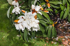 Sweet Michelia flowers and buds Royalty Free Stock Photos