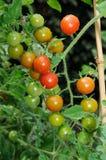 Sweet Million Cherry Tomato Plant. Royalty Free Stock Photos