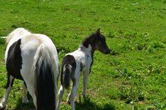 Sweet Backsides of Black and White Mini Horses in a Grass Pasture royalty free stock images