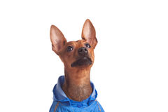 Sweet miniature pincher in jacket. Little miniature pincher looking up  - isolated on white Stock Images